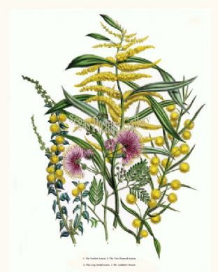 Acacia, Toothed; Twin-flowered Acacia, Long-leaved Acacia